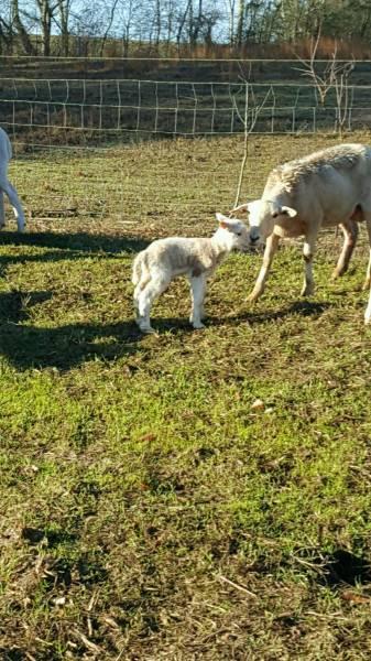 Katahdin Ewe sheep Stolen Last Night in Fadette